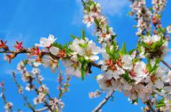 almond tree in full bloom - stock photo