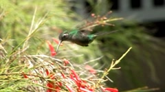 Cuban hummingbird collecting nectar Stock Footage