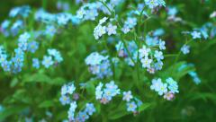 Myosotis blue flowers (forget-me-nots) close up Stock Footage