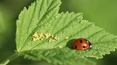 Coccinella septempunctata (seven-spot ladybird) on green leaf with eggs Stock Footage