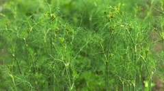Green dill on a bed in the garden Stock Footage