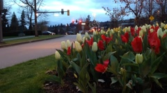 Cars ride by street with tulips on right side at spring time Stock Footage