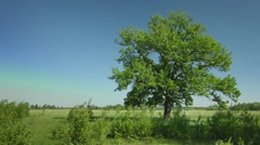 Old big oak tree in windy weather Stock Footage