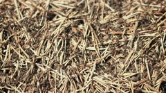 Movement of ants on the surface of ant house in the forest Stock Footage