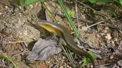 Large lizard on ground - Skink. Thailand, Phuket island Stock Footage