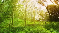 Plantation of rubber trees (Hevea) on a sunny summer day. Thailand, Phuket Stock Footage