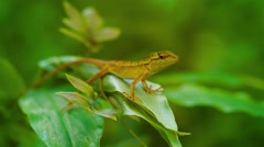 Small wild lizard sitting on a tropical plant. Thailand, Phuket Island Stock Footage