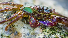 Stock Video Footage of Small, Colorful Crab Submerged under a Wave