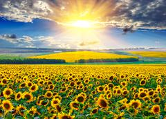Sunflower field at the morning Stock Photos