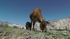 Cows graze before Shey palace,Shey,Ladakh,India Stock Footage