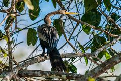 Anhinga standin on branch in the peruvian Amazon jungle at Madre Stock Photos
