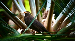Crow Raven Botanic garden Puerto de la Cruz Tenerife Canary islands Spain Stock Footage
