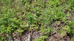 Wild strawberry (Fragaria vesca) Stock Footage