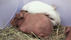 Hairless guinea pig. 4K. - stock footage