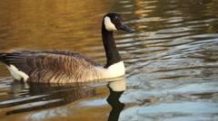 waterfowl park in London - stock footage