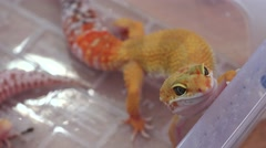 Yellow lizard. 4K. Stock Footage