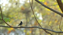 Magpie robin is resting on the tree Stock Footage