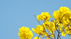 Golden tree flowers under the sky Stock Footage