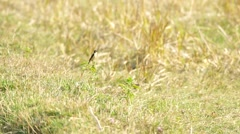 Stonechat bird finding  food Stock Footage