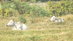 two cows in the arid paddy field - stock footage