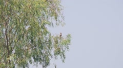 Oriental Honey Buzzard Stock Footage