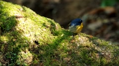 Snowy-browed flycatcher moving on the moss mat Stock Footage