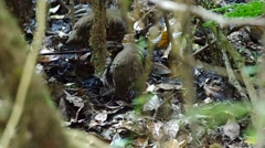 Two Rufous-throated Partridges cleaning itself Stock Footage