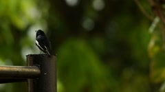 Oriental Magpie Robin resting on the metal pole Stock Footage