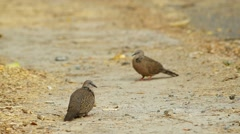 Spotted doves are standing on the ground Stock Footage