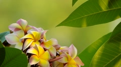 plumeria flowers and leafs - stock footage