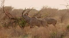 Kudu in bush Stock Footage