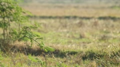 Stonechat on the mimosa shoot Stock Footage