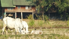 mother cow and her offspring - stock footage