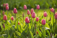 Pink beautiful tulips field in spring time, floral easter background Stock Photos