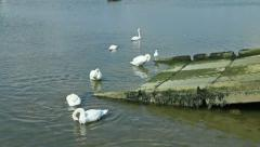 Group of swans in a harbour Stock Footage