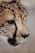 Portrait of a Cheetah - stock photo