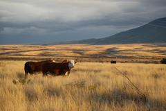 Cows in plain in cloudy day Stock Photos