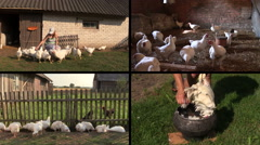 Farmer woman feed broiler and pluck feather. Video clip collage. Stock Footage