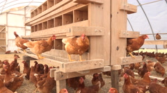 Chickens in a large chicken coop Stock Footage