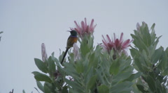 Protea Western Cape Flora with bird jump Stock Footage