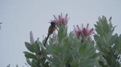 Protea Western Cape Flora with bird jump - stock footage
