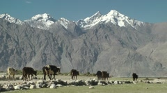 Farmer and cows  with himalaya,Sumur,Ladakh,India Stock Footage
