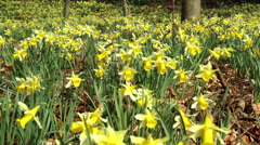 Daffodils in the park. Stock Footage