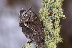 Eastern Screech Owl - stock photo
