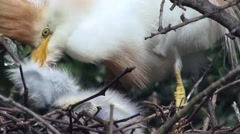 Cattle Egret feeding very young chicks in nest Stock Footage