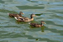 Duck family (lat. Anas platyrhynchos) - stock photo