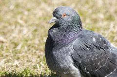 Rock feral pigeon dove - stock photo