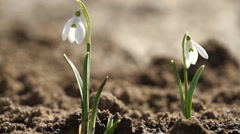 White snowdrop flowers and singing nightingale Stock Footage