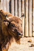 Standing american bison in zoo Stock Photos