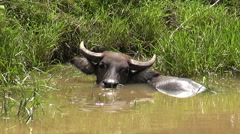 Asian water buffalo In A River Stock Footage